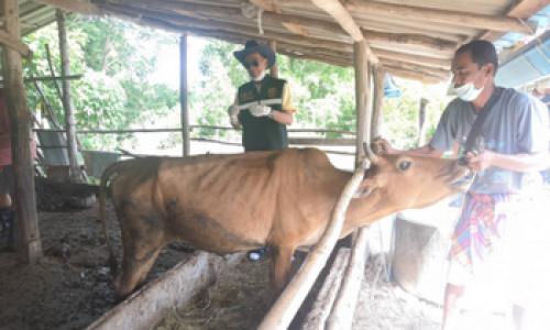 ปศุสัตว์อำเภอนาทวี ปฏิบัติงานฉีดวัคซีนโรคลัมปี สกิน ให้กับเกษตรกร